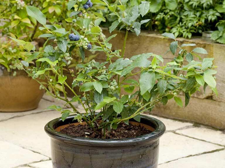blueberry tree in jar