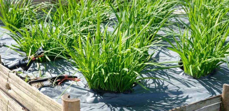 How to Grow Chives Indoors and Outdoors Yourself