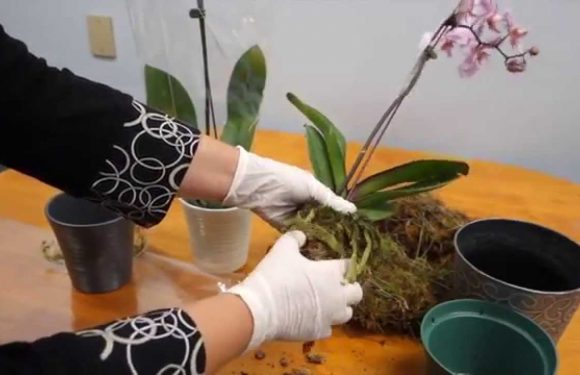 How to Revive an Orchid Quickly and Correctly