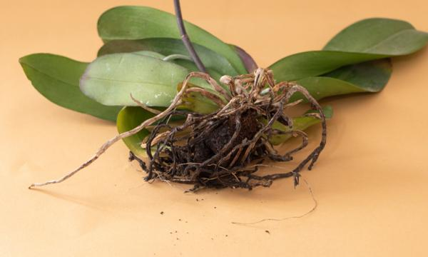 How to revive an orchid with dried roots