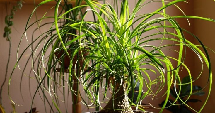 How to Care for a Ponytail Palm? Follow These Steps