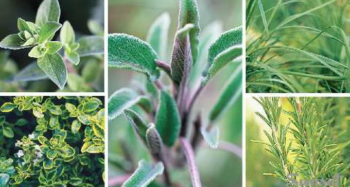 Types of Rosemary to that will Enhance your Garden Beauty