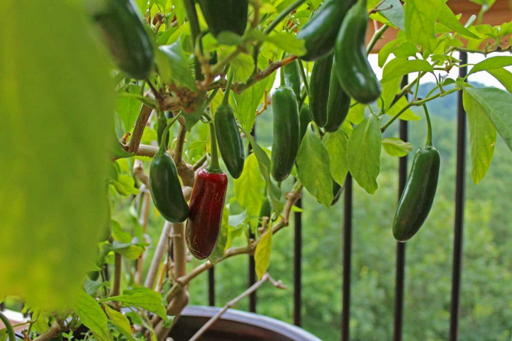 when to pick jalapenos