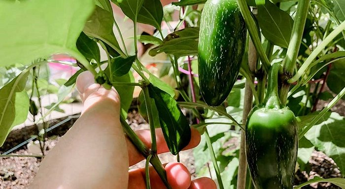 How and When to Pick Jalapenos?